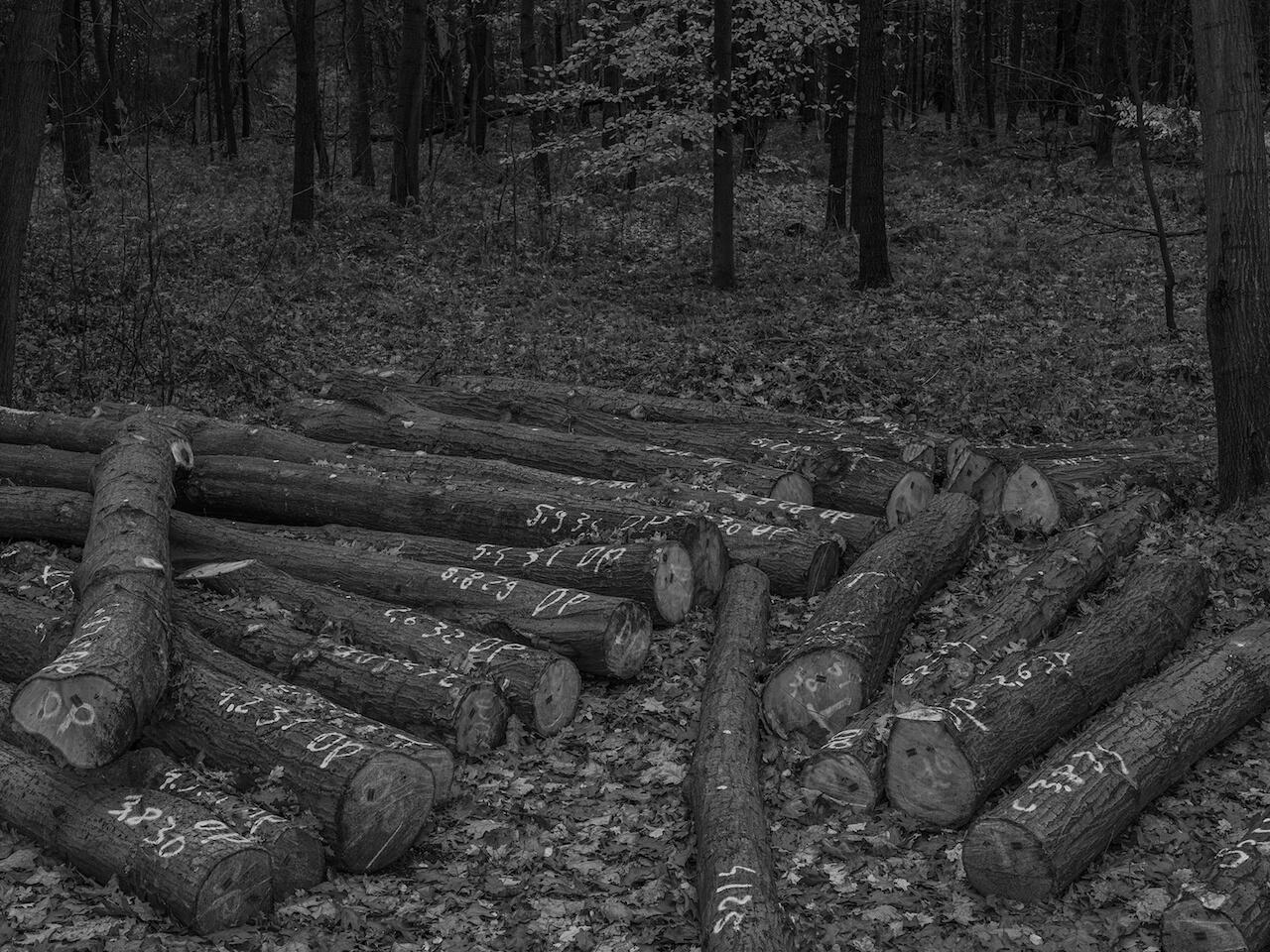 Pnie ściętych drzew